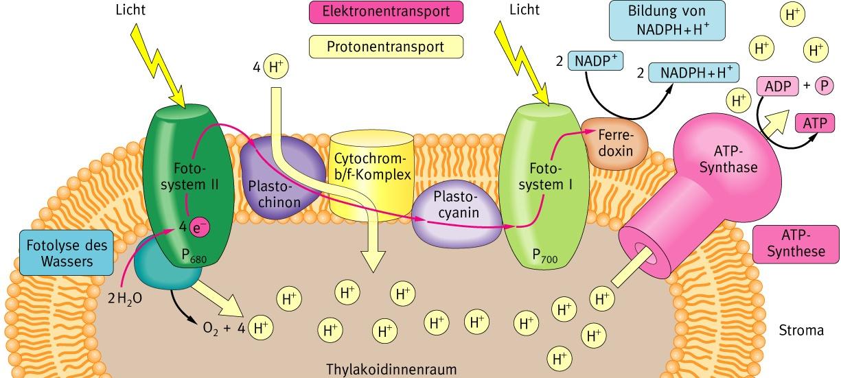 Photosynthese Lichtabhängige Reaktion